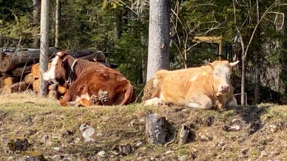 Rastende Kühe auf der Weide